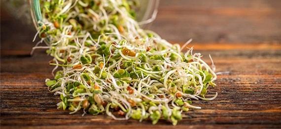 Alfalfa – lucerna cu proprietati deosebite