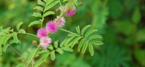 Mimosa Pudica - pe cat de timida, pe atat de benefica